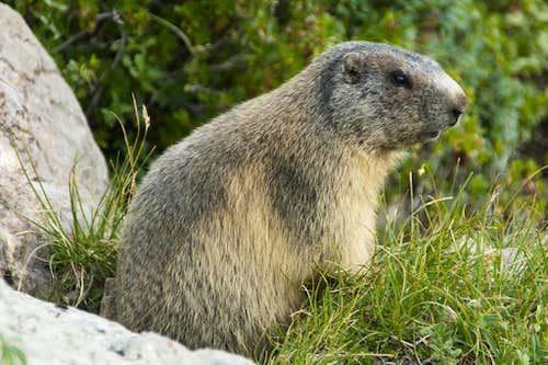 Marmot Dad