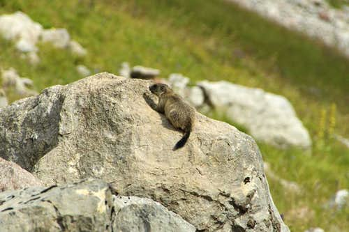 Marmot Kid