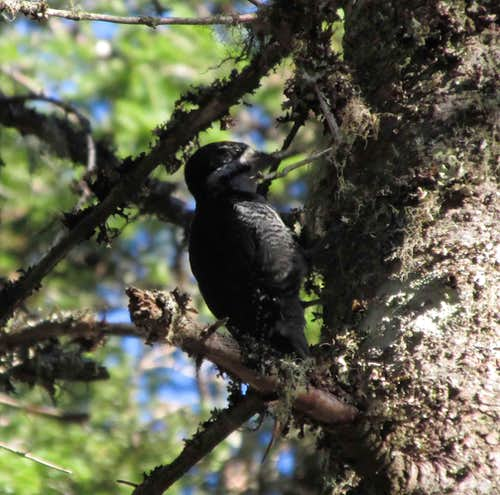 Mount Carleton, woodpecker