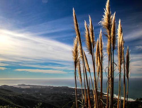 Pampas grass on Montara Mountain