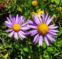 Alpine asters (<i>Aster alpinus</i>) on the southern slopes of the Texel Group