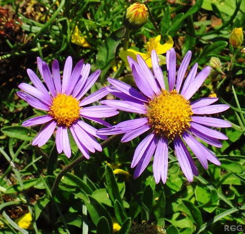 Alpine asters (Aster alpinus) on the southern slopes of the Texel Group