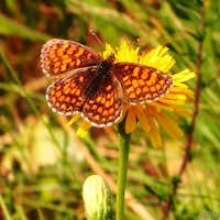 Nickerl\'s fritillary (<i>Mellicta aurelia</i>) on a hawkweed flower