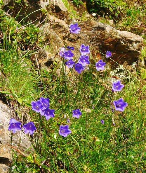 Bellflowers along the trail to the Hochgangschartl
