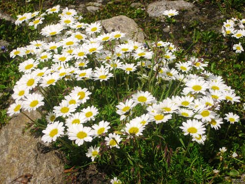 Ox-eye daisies above the tree line, just north of the Spronserjoch