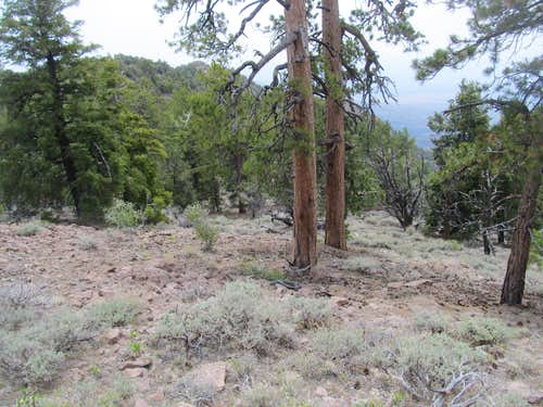 wandering through cool Ponderosa forest