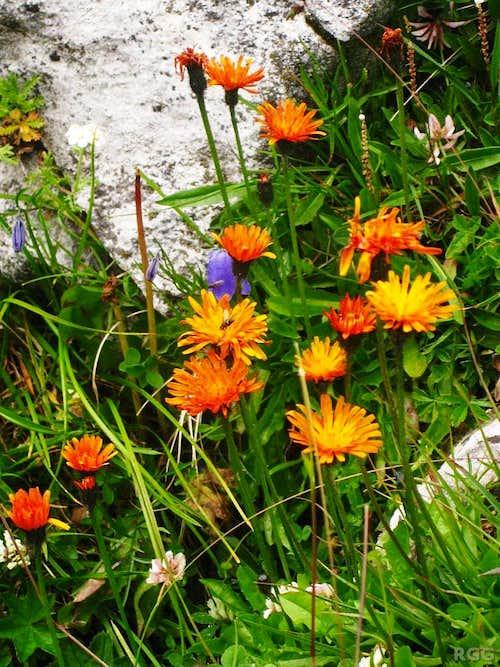 Orange hawkweed (<i>Hieracium aurantiacum</i>) near the Andelsalm
