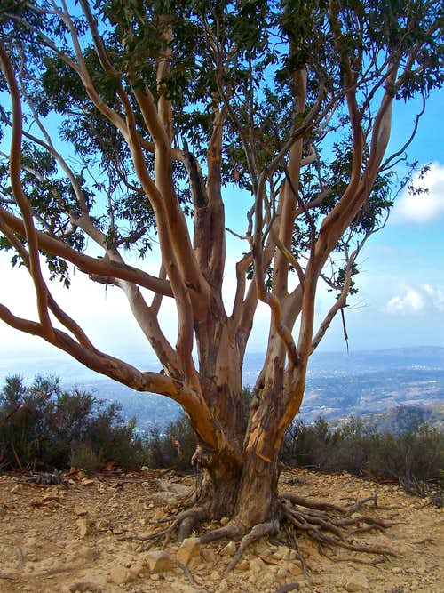 Eucalyptus tree before the summit