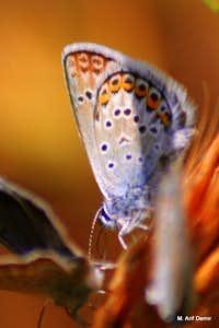 Many-eyed blue butterfly