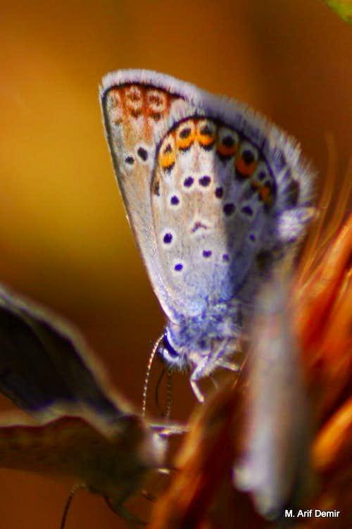 Many-eyed blue butterfly