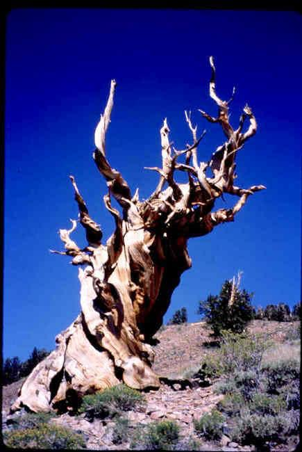 Ancient Bristlecone Pine,...
