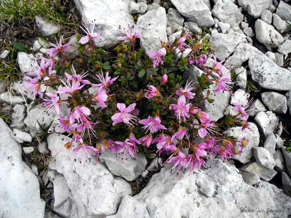 Alpine flora (Rhodothamnus chamaecistus), Val Formin