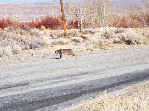 Bobcat in Pine Creek Canyon