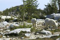 Mountain Goats in the Enchantments