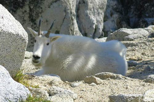 Enchantments Mountain Goat