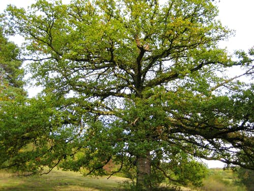 Eiche - Oak
