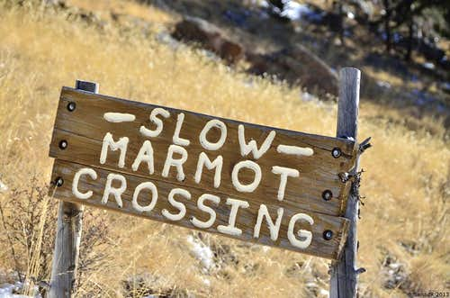 Slow Marmot crossing