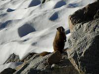 Marmot by Main Trail