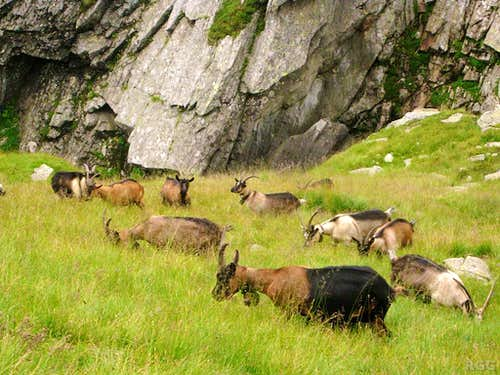 Goats in the Lafais valley