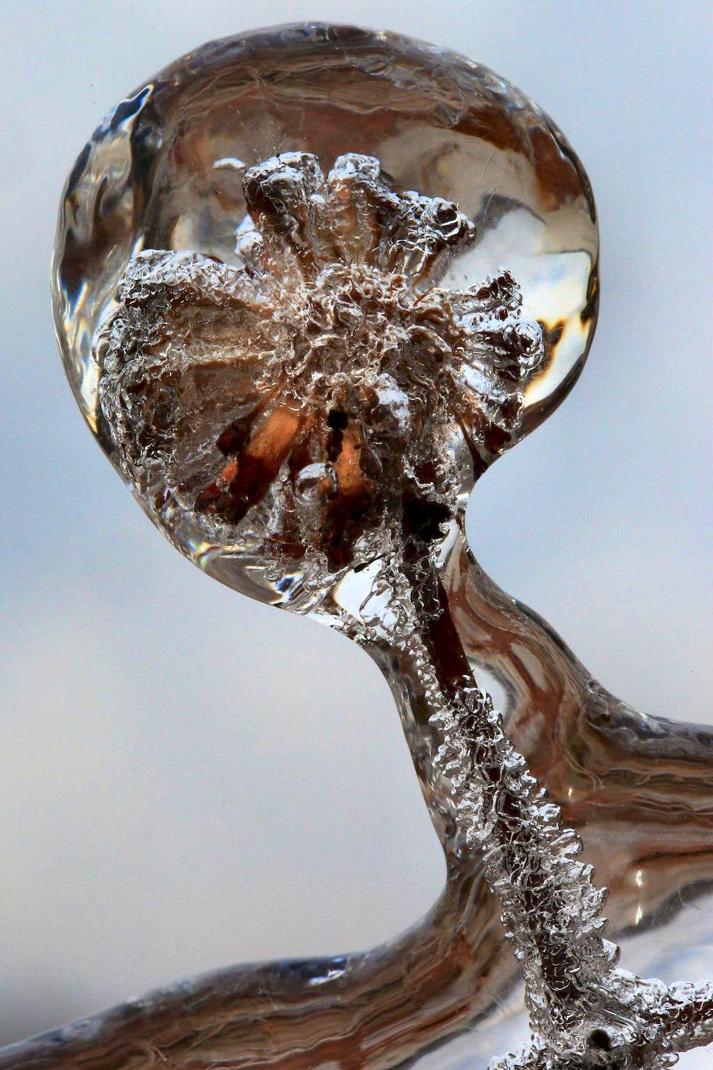 Icy Seed Pod