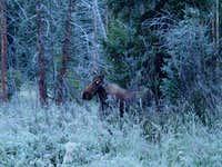 Moose near the Trailhead....
