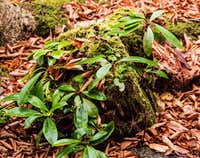 Nurse log with rhododendron growing