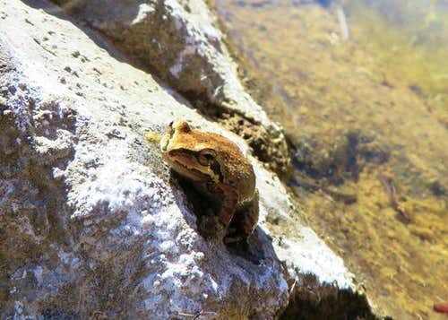 Frog in Sespe Creek