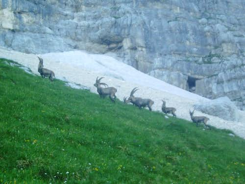 The first group of many, many ibex that day