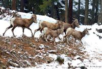 Bighorns with Yearling