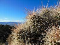 Cactus on the ridge