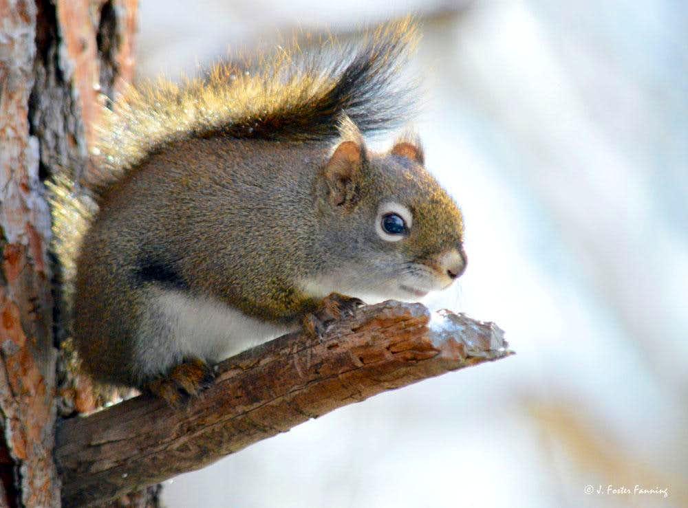 Chittering Squirrel