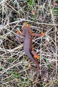 Salamander, Cache Creek Wilderness