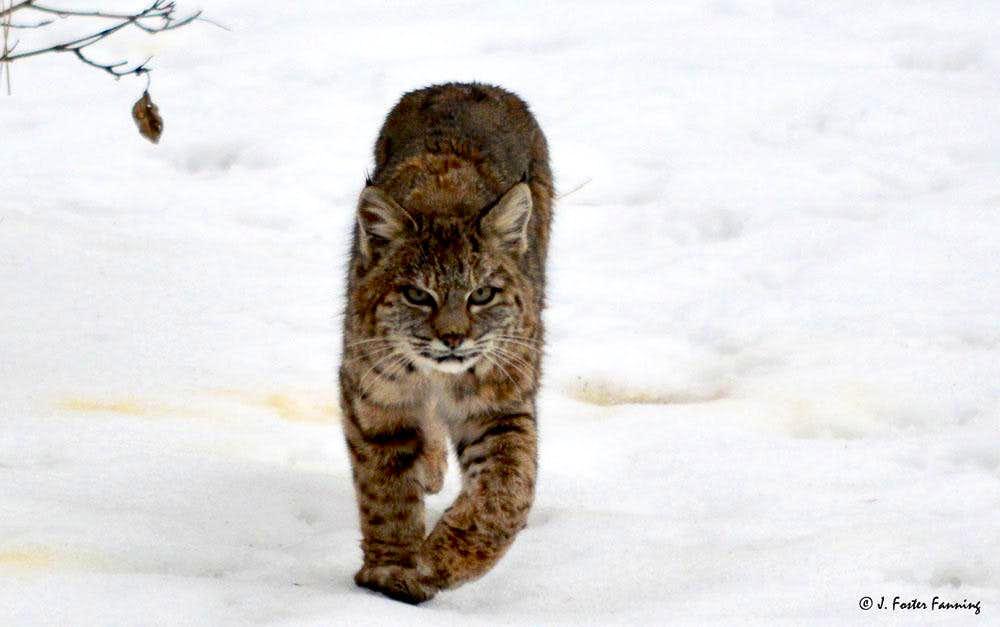 Bobcat Looking