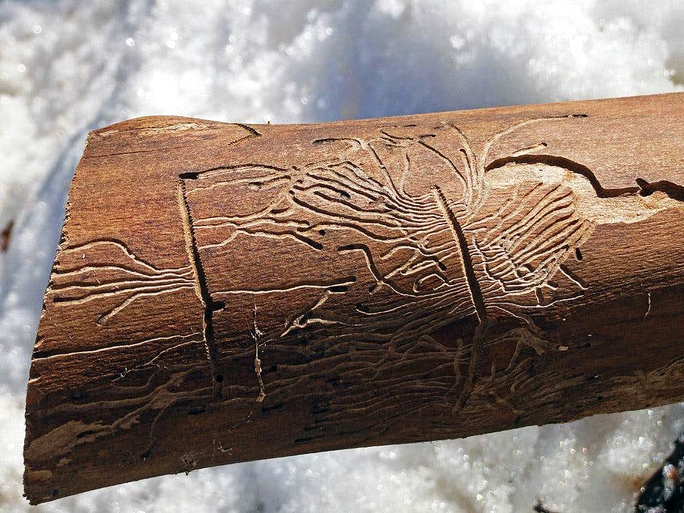 Bark beetle art