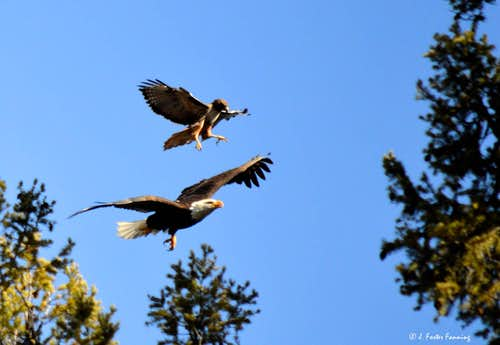Redtail Hawk on Bald Eagle
