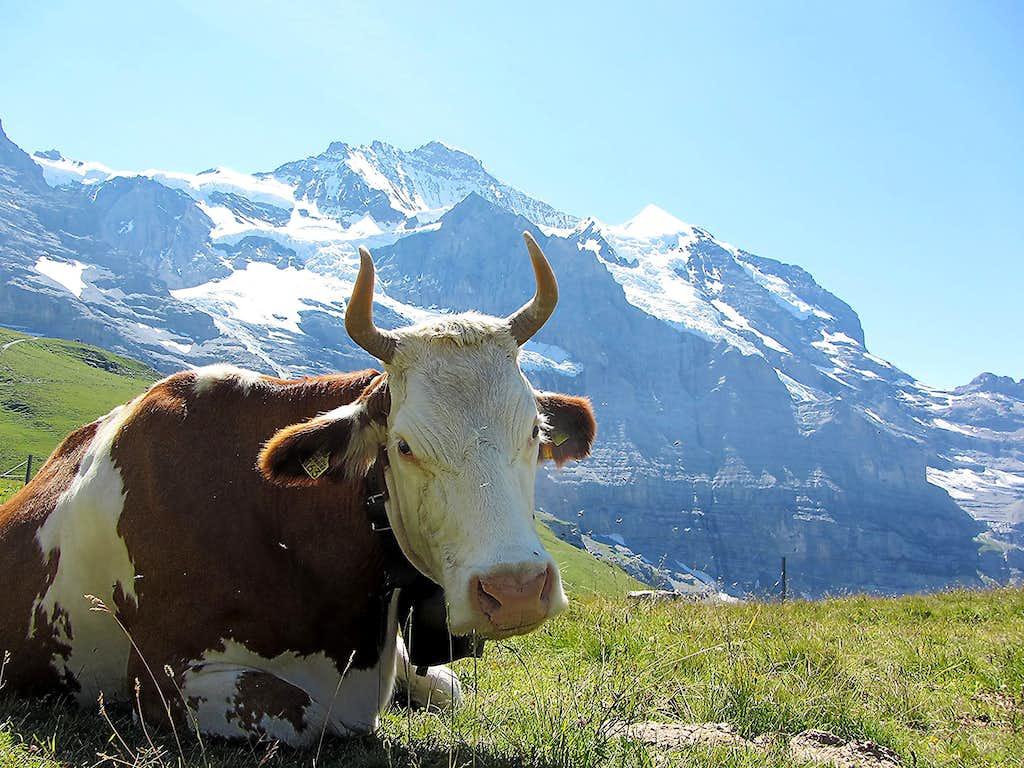 Jungfrau Cow