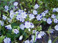 Five spot flowers along the trail to Lyons Lake
