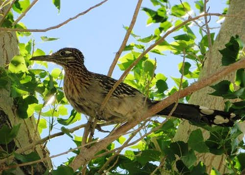 Roadrunner at her nesting tree
