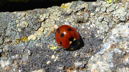 A ladybird next to Cervunal Lagoon