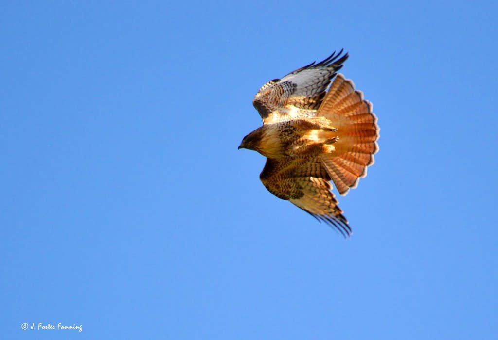 Redtail Hawk in dive