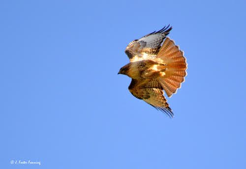 Redtail Hawk in dive