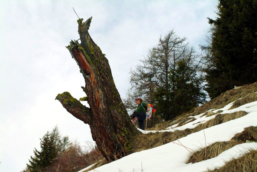 Do not exaggerate too to tree by Snow Shoes 2004