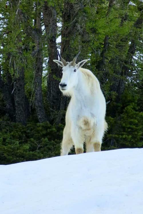 Black Peak Mountain Goat
