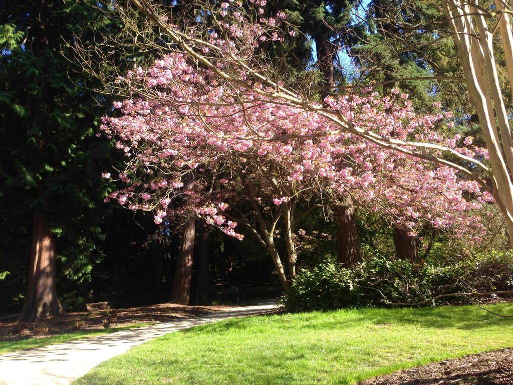 Beautiful Cherry Tree