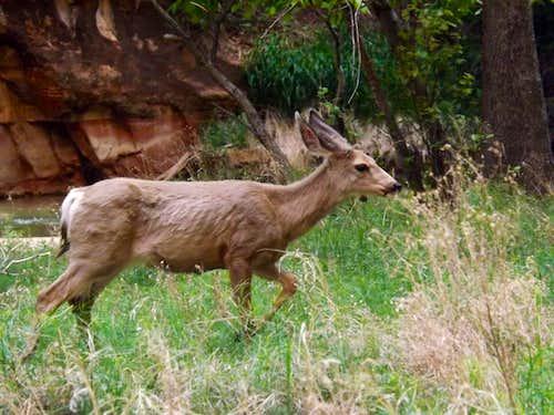 Maurading Deer