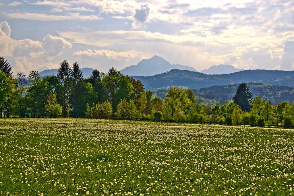 Dandelion field with Hochstaufen in the background