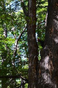 Woodpecker in Altos del Lircay