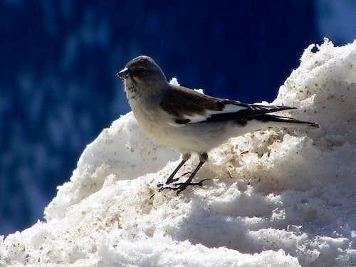 A small alpine bird near Cabane des Aiguilles Rouges (2810m)
