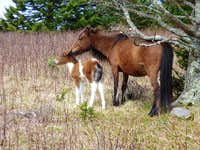 Wild Ponies - Mt. Rogers