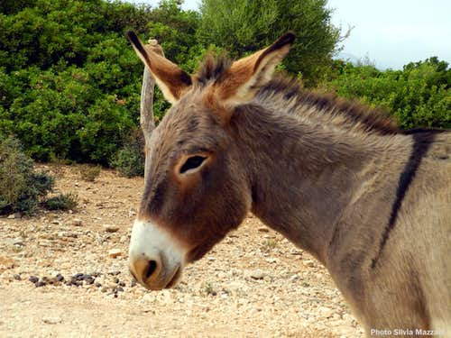 An agreeable little Sardinian donkey in the Oddoene Valley